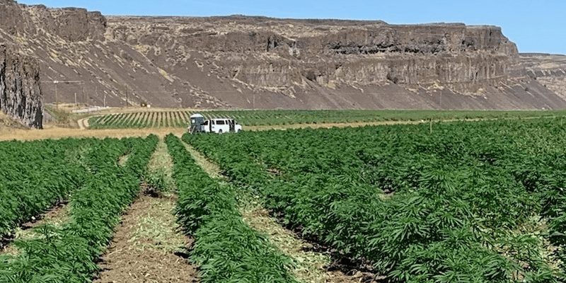Washington Hemp Farm in Colombia Basin